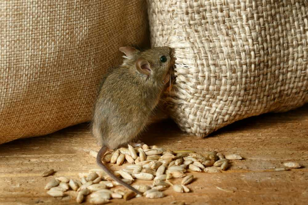 Mice are sometimes hard to exclude from food stores © Torook/Shutterstock
